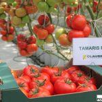 Pomidor wielkoowocowy Tamaris F1