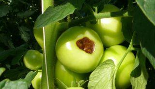 sucha zgnilizna wierzchołków owoców