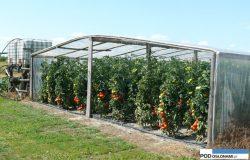 Nawożenie pomidorów – kilka uwag specjalisty