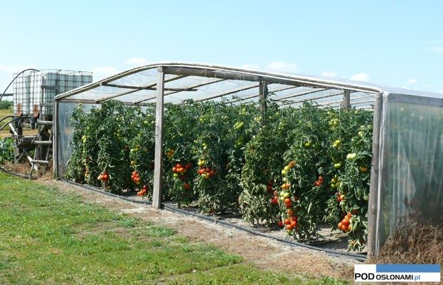 pomidory tunelowe