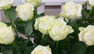 Róża 'White Naomi'