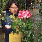 Róże – o okazałych kwiatach i mocnych odcieniach barw płatków – są symbolem ekwadorskiego przemysłu roślin ozdobnych, który obsługiwany jest przez okoliczną, rdzenną ludność