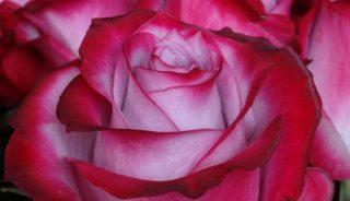 róża Deep Purple