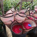 Kwiaty róż po zbiorze owija się w płachetki z tkaniny