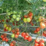 pomidor Merlice F1
