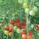 pomidor Clavero F1
