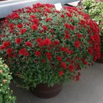 Chryzantema drobnokwiatowa Lucille Red_Dni Otwarte Turscy Rzgow 2015