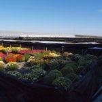 Nowa kontenerownia do produkcji chryzantem drobnokwiatowych_ Dni Otwarte Turscy Rzgow 2015