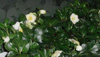 Helleborus-niger-Happy-Day