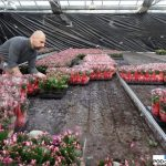 Gartneriet Thoruplund_Schlumbergera_pakowanie kwitnacych roslin