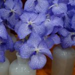 Vanda_Jones ex R.Br Kanchana Angelite SPCDW1405_IPM Essen 2016