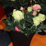 Rosa_Infinity-Evergreen_IPM Essen 2016