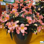 Begonia-First-Kiss_IPM Essen 2016