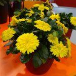 Calendula Powerdaisy Sunny_IPM Essen 2016