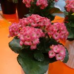 Kalanchoe Queen Originals Maxine_IPM Essen 2016