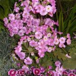 Primula_Thirtyone_stoisko firmy Cultivaris_IPM Essen 2016