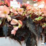 Begonia-Unstoppable-Upright-Salmon_Dummen Orange_IPM Essen 2016