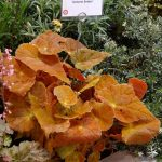 Begonia 'Autumn Ember'_ekspozycja firmy Cultivaris_IPM Essen 2016