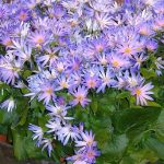 Pericallis hybrida Senetti Grape_firma Moerheim_IPM 2016
