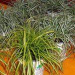 Carex-oshimensis-Evershine_żółto-zielone__Everlite_nowości z firmy Fitzgerald Nurseries_IPM Essen 2016