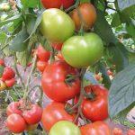 pomidor Matias F1