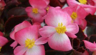 Begonia semperflorens Senator iQ 'Rose Bicolour'