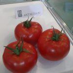 Antalaya F1 pomidor