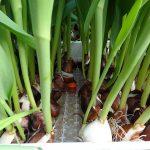 tulipany pedzone hydroponicznie_Nowaccy