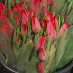 Tulipan First Star
