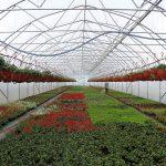 Tunel_z firmy Farmer_z roslinami balkonowymi_Nemesia_Gorczak