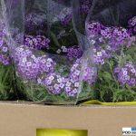 Lobularia_Princess-in Purple_Wydorowo_2016