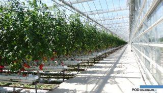 uprawa pomidora malinowego