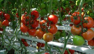Pomidor Siranzo F1, rośliny zaszczepione na podkładce Emperador F1