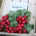 Rzodkiewka Florella F1