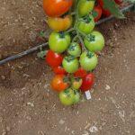 Pomidor śliwkokształtny 142-402