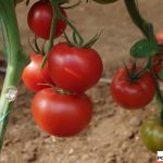 151-449 - jedna z prób pomidora czerwonego