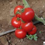 152-237 - nowość o kształtnych, czerwonych owocach