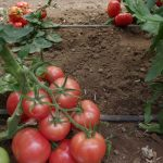 Pomidor malinowy pod numerem 152-464