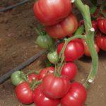 Pomidor malinowy 152-487