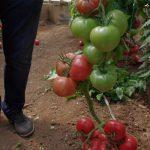 Pod numerem 162 - 465 pokazano odmianę malinową o dużych owocach