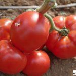 Pomidor wielkoowocowy pod numerem 41