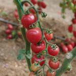 Koktajlowy pomidor malinowy pod numerem 423