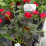 Pelargonium zonale Brocade 'Cherry Night'