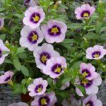 CalibrachoaHulaLavender_Vitroflora 2016