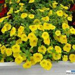 Calibrachoa Aloha Kona 'Yellow'