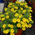 CalibrachoaAlohaGoldrush_Vitroflora 2016
