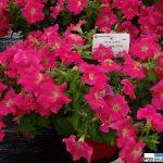 Petunia Ray 'Candy Pink',