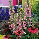 Digitalis-valinii_BerryCanary_Dni Otwarte Vitroflora 2016