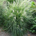 Deschampsia_caespitosaTardiflora_Vitroflora 2016