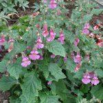 Rehmannia_MagicDragon_Vitroflora